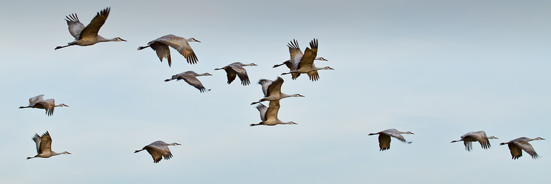SAND HILL CRANES in flight BOSQUE - DECEMBER 2010