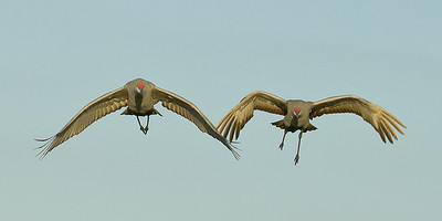 SAND HILL CRANES coming in for a landing BOSQUE - DECEMBER 2010