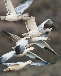 SNOW GEESE BOSQUE  - DECEMBER 2010