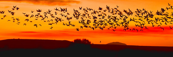 SNOW GEESE FLYING at SUNRISE ORANGE and RED SKY BOSQUE - DECEMBER 2010