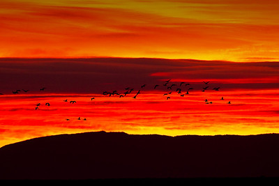 SNOW GEESE at sunrise STRAGGLERS from the blast BOSQUE - DECEMBER 201 have you ever in your life seen colors like this?