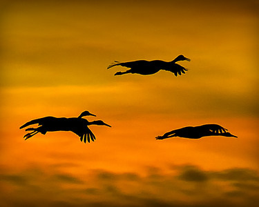 SAND HILL CRANES at SUNSET BOSQUE   DECEMBER 2010