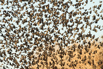 RED-WINGED BLACKBIRDS - SWARMING BOSQUE - DECEMBER 2010