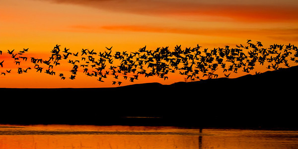 BOSQUE DEL APACHE NEW MEXICO SNOW GEESE in ORANGE SKIES That week in December, 2010, it is estimated that there were 40,520 snow geese in the wildlife refuge