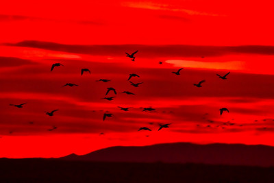 SNOW GEESE - RED SKY BOSQUE - DECEMBER 2010