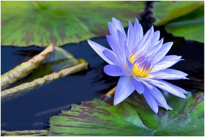 Shy Blue Lily 211