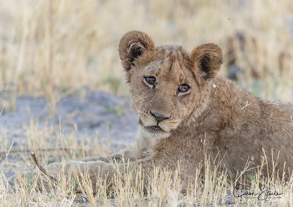 Another cute Lion cub in Botswana