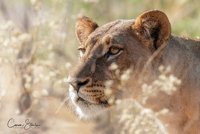FlowerPower - lioness in the flowering grasses- looks deceptively gentle