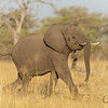 An elephant on the run in Botswana!
