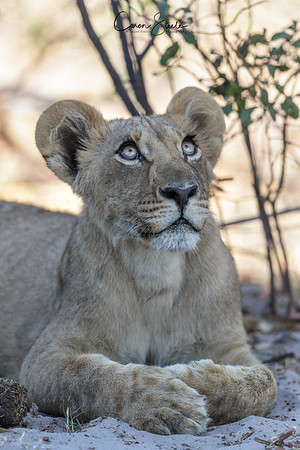 Look at those big eyes, just how cute is this lion cub I saw in Botswana almost makes you want a cuddle!