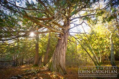 BWCA-1000yr-old-cedar-1g
