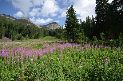 Wild flowers on the shores of Emerald Lake
