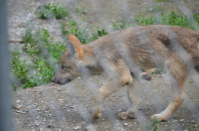 Gray wolf pup, about 6 months old