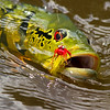 Peacock_Bass_in_Brazil_Amazon_Agua_Boa_Lodge_Klug_Photos