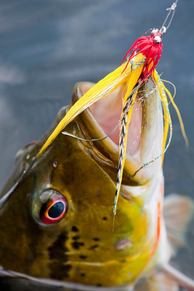 Peacock_Bass_in_Brazil_Amazon_Agua_Boa_Lodge_Klug_Photos
