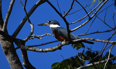 Ringed Kingfisher.  The Pantanal, Brazil.