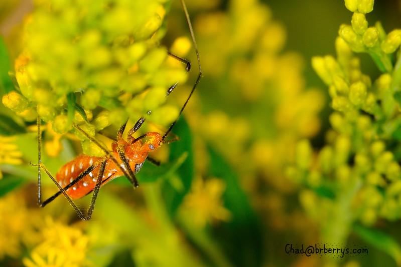 assassin bug 2