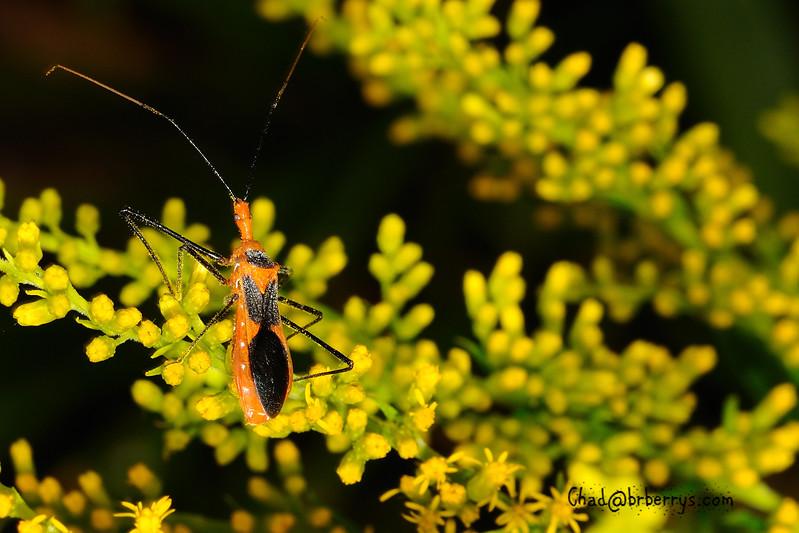 assassin bug 1