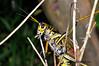 Eastern Lubber Grasshopper 3