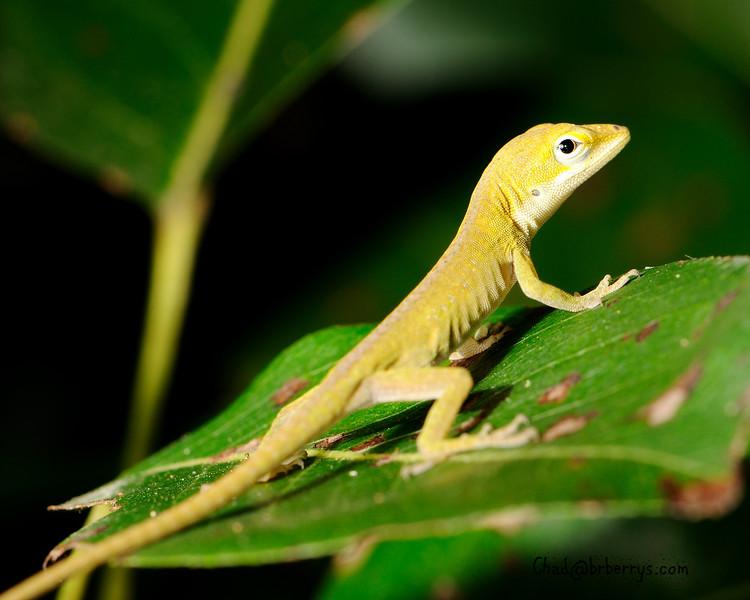 Baby Lizard2