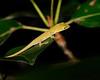 Baby Lizard1