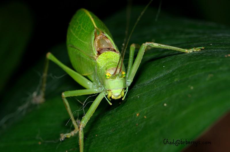 Leaf Bug 4