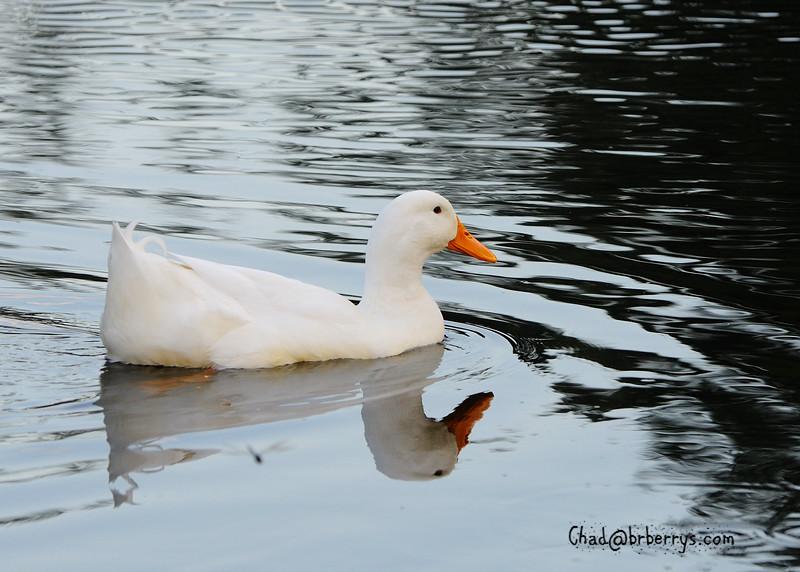 WhiteDuck1