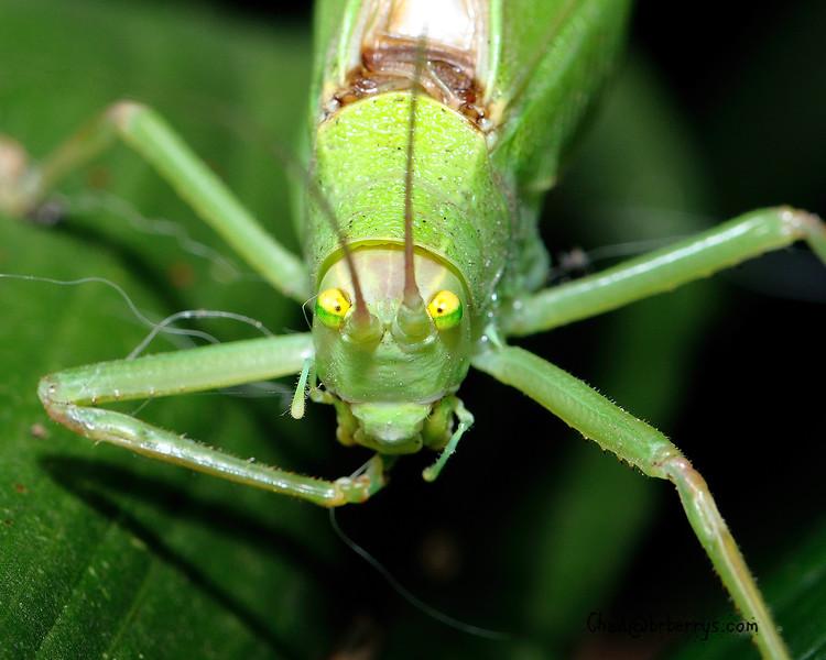 Leaf Bug 1