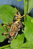 Eastern Lubber Grasshopper 2