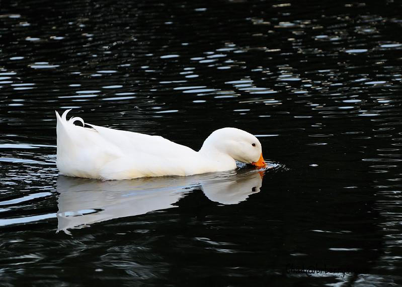 WhiteDuck2