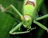 Leaf Bug 2