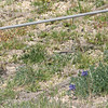 Lupinus texensis (Texas Bluebonnet) beginning to bloom on the living roof.