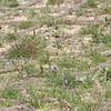 Glandularia bipinatifida (Prairie Verbena)