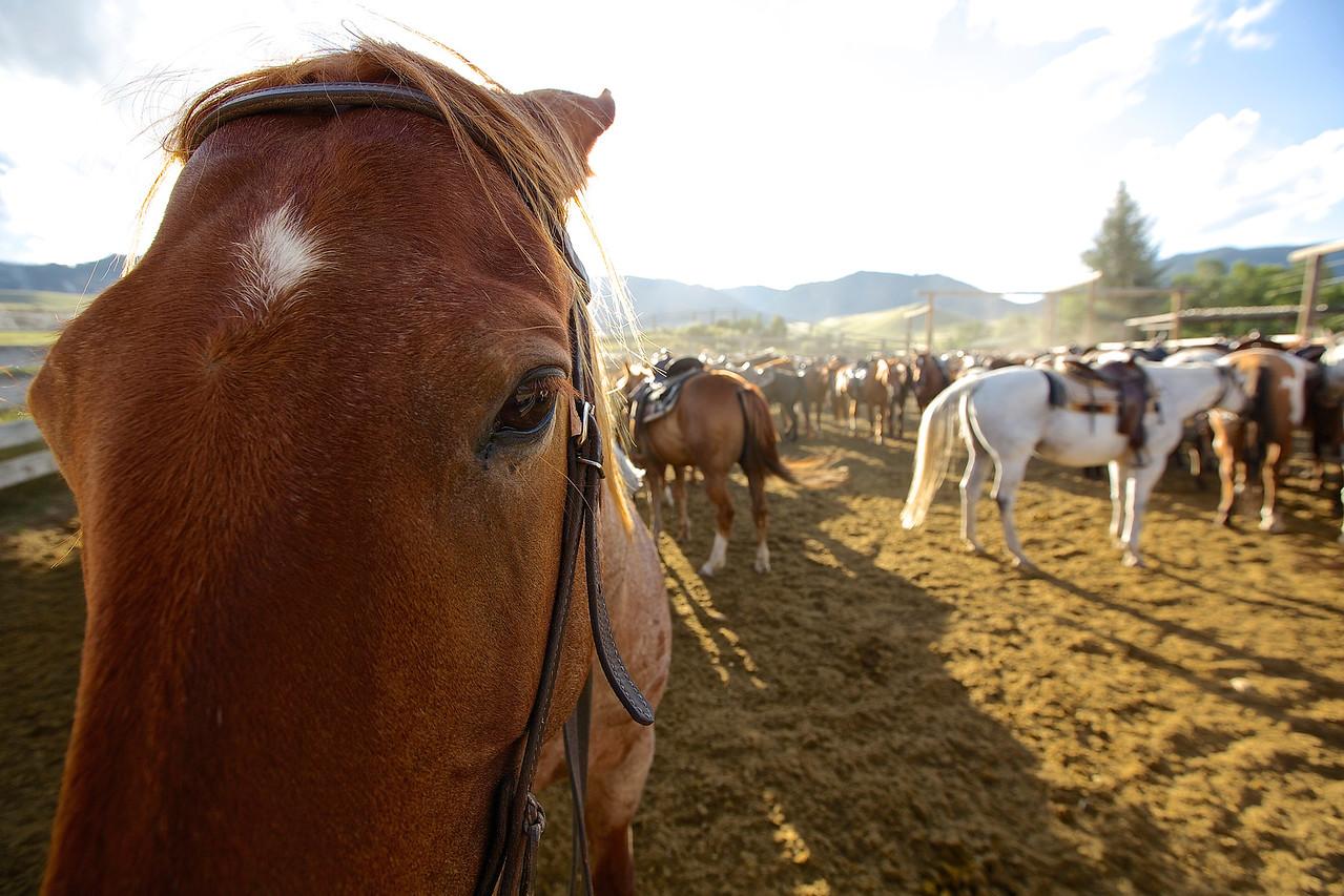 Cinnamon, HF Bar Ranch #7, Wyoming.