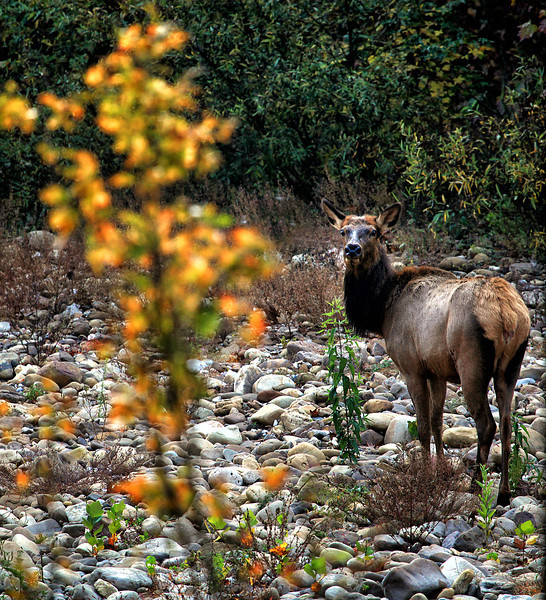Momma Elk - Steel Creek - Buffalo National River - Ponca, Arkansas - Fall