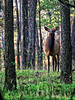 Momma Elk - Steel Creek - Buffalo National River - Ponca, Arkansas - Fall