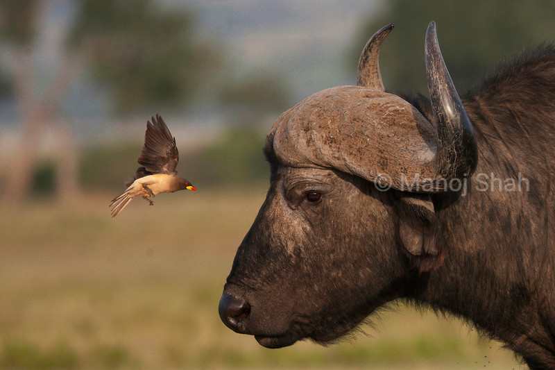 Red billed oxpecker flies around the face of an African buffalo in Masai Mara.