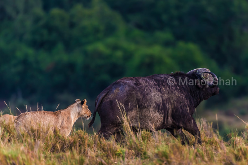 lioness chasing an African buffalo