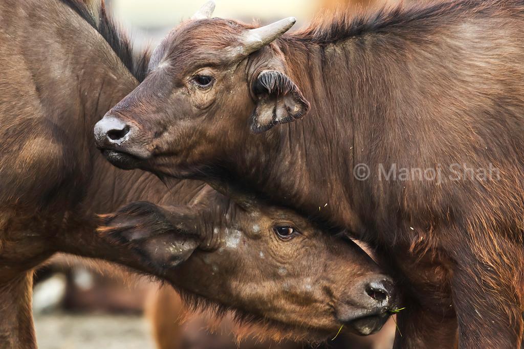Buffalo calves enjoying sparring.