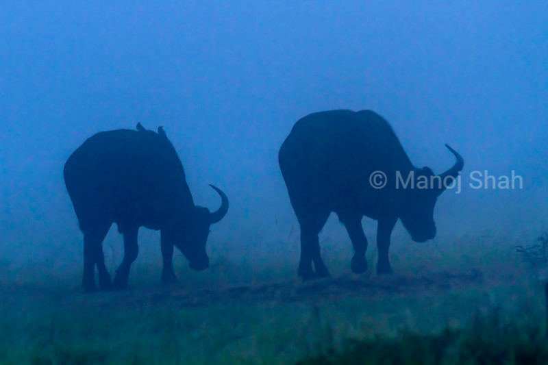 African buffalos grazing outside the riverine forest on a cold and foggy morning in Masai Mara.