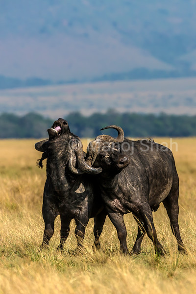 Two buffalo bulls fighting for supremacy in Masai Mara. With eyes glaring in pain, the heavy horns take their toll and one bull screams in pain.