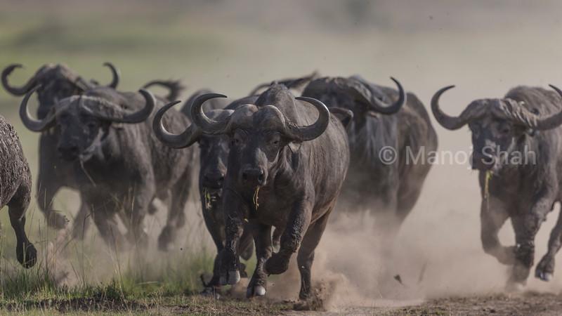 Cape Buffalos running