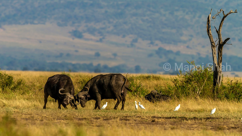 Two buffalo bulls fighting for supremacy in Masai Mara. Cattle egrets lie in wait for insects to fly.
