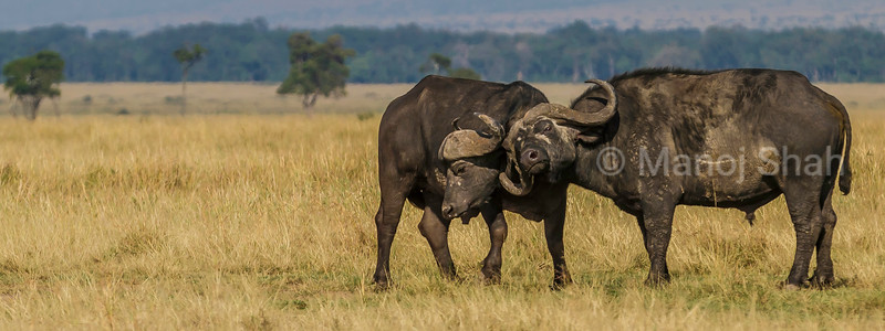 Two Cape buffalo bulls engage them selves in a show of strength for mating rights in Masai Mara.
