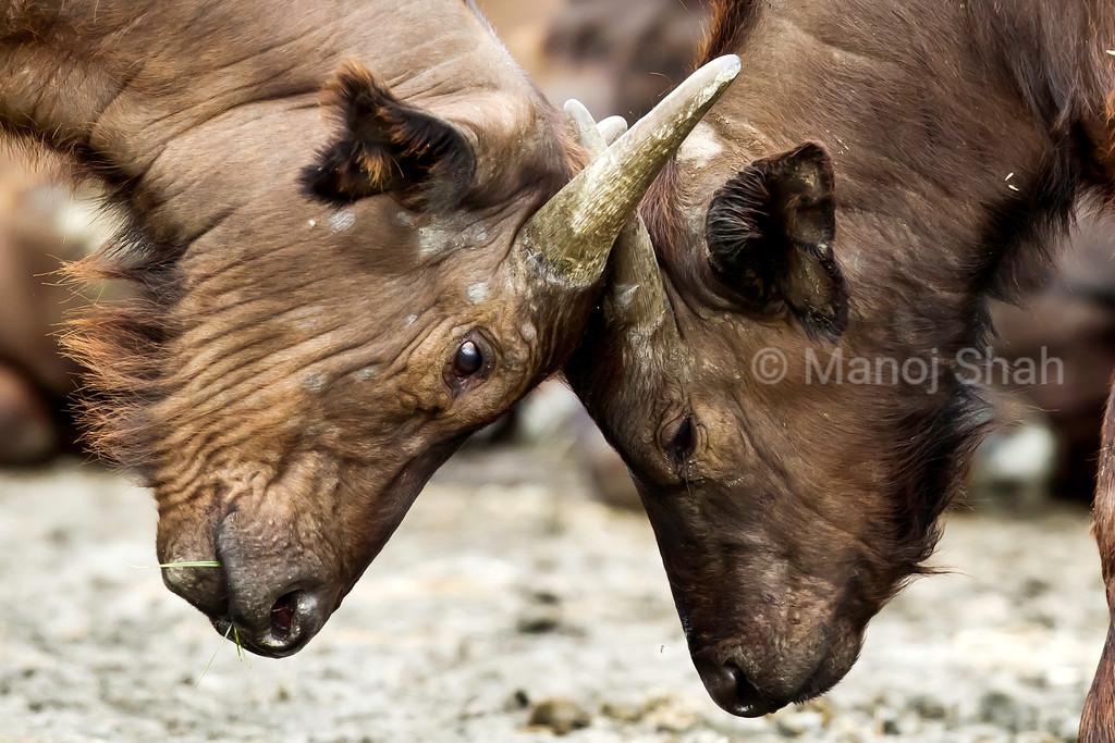 African Buffalo calves