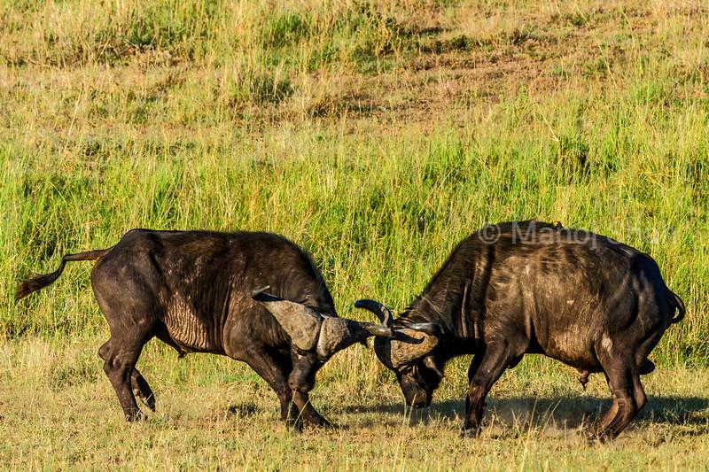 African Buffalo fighting