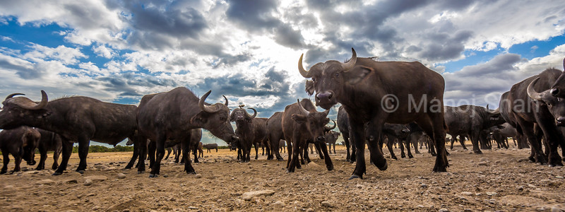 African buffalo herd in Laikipia savanna, Kenya.