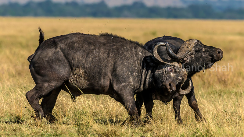 Two buffalo bulls fighting for supremacy in Masai Mara. With eyes glaring in pain, the heavy horns take their toll.