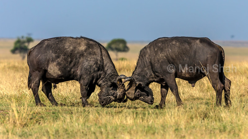 Two buffalo bulls fighting for supremacy in Masai Mara.