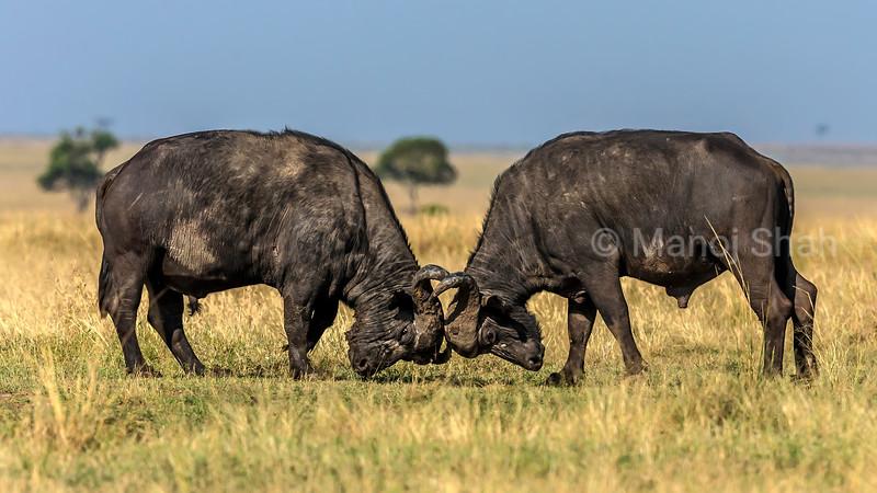 Two buffalo bulls fighting for supremacy in Masai Mara.
